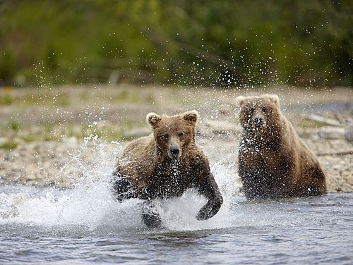 Bären im Fluss im Katmai Nationalpark